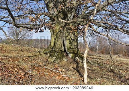 Hollow Tree In Forest, Covered With Moss