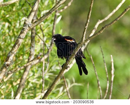 Beautiful postcard with a blackbird sitting on a branch