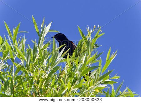 Isolated picture with a blackbird sitting on a tree
