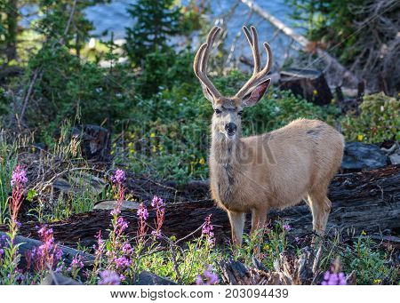 Mule Deer Buck moving through the woods of Northern Colorado.