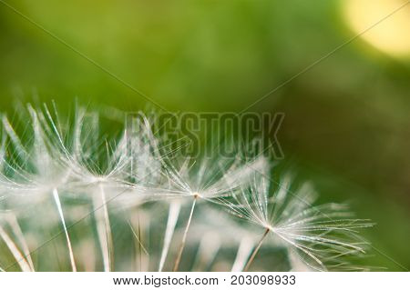 A single dandelion on green background in late summer