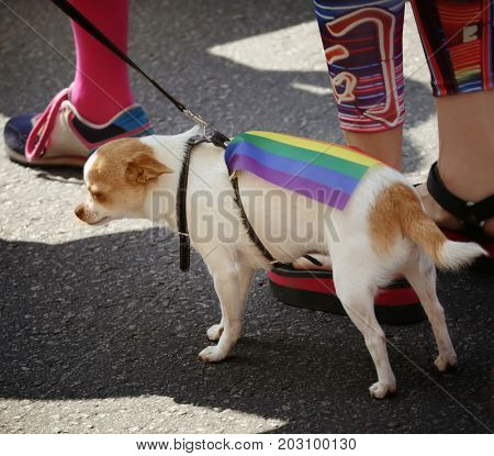 Concept of sexual minority. Cute dog with gay rainbow flag outdoors