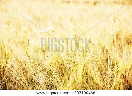 Yellow wheat field. Seasonal natural scene. Agricultural theme. Photo filter.