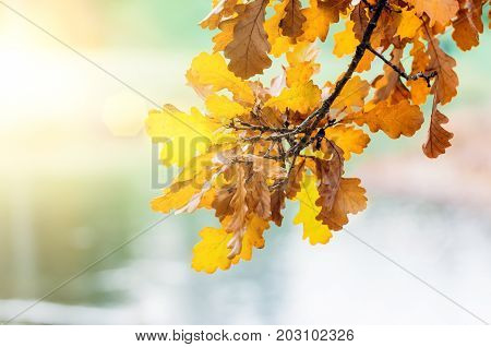 Branch With Yellow Autumn Leaves Hanging At Sunset Light Glare