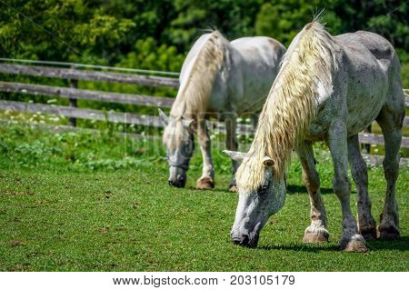 Two horses feeding in the Wisconsin countryside near a forest.