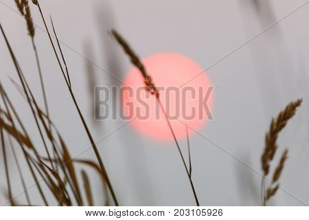 red sun and weed spike nature background