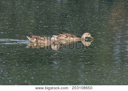 gadwall bird in a pond at Vancouver BC Canada