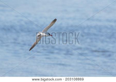 Caspian Tern bird at Vancouver BC Canada