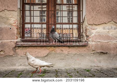 Pigeons in front of a old building window, Poland