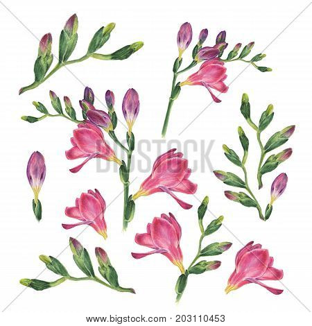 Botanical watercolor illustration of freesia on white background. Could be used as decoration for web design, polygraphy or textile