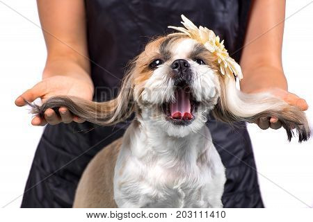 Beautiful funny shih-tzu dog at the groomer's table in the studio preparing for the dog show - isolated on white. Best fashion style of the professional groomer care.