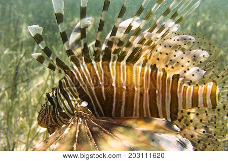 Fish lionfish in bottom algae, bright fins