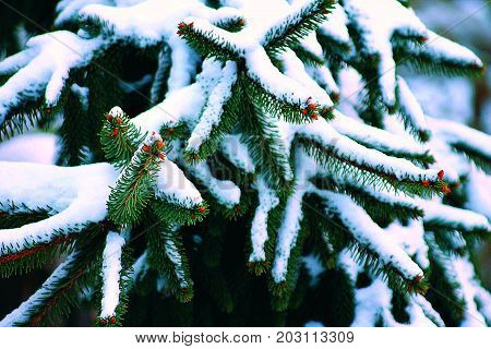 Noble Fir, heavy with snow on limbs in winter