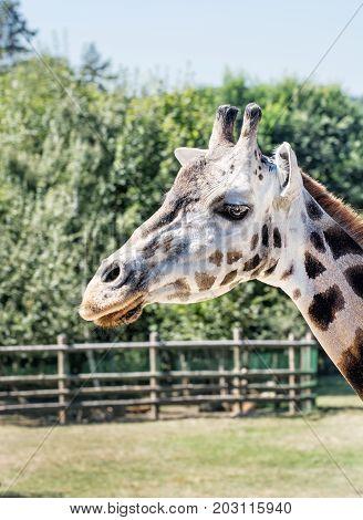 Rothschild's giraffe - Giraffa camelopardalis rothschildi in captivity. Animal scene.