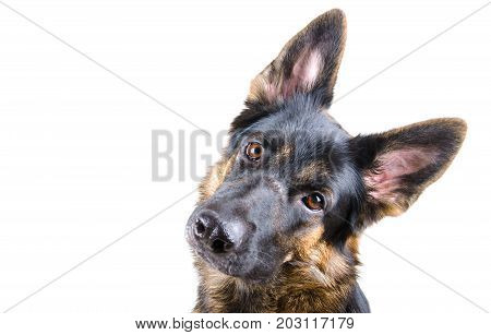 Cute German shepherd tilting its head (isolated on white selective focus on the dog eyes) with copyspace on the left
