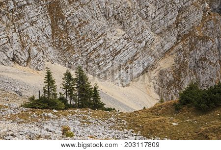 Lonely pines below the limestone rocky wall
