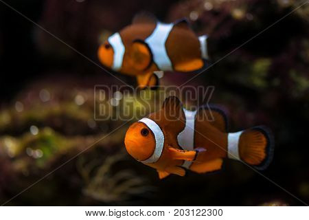 a clown fish swim above the bottom