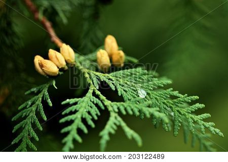 Thuja Occidentalis Is An Evergreen Coniferous Tree, In The Cypress Family Cupressaceae.blossom.close