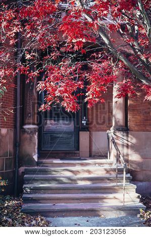 red maple at the entrance of the house. Beautiful maple leaf tree next to the front door