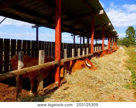 Limousin cattle eating hay from the confines of a byre