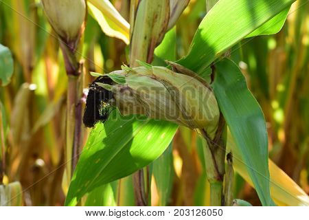 Indiana Corn in a Cornfield Isolated in the Field