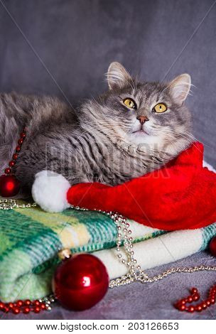 Cute Furry Home Cat With Santa Hat, Christmas Balls And Beads On Green Plaid