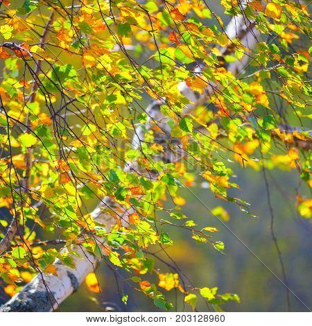yellow olden  autumn, birch tree orest background.