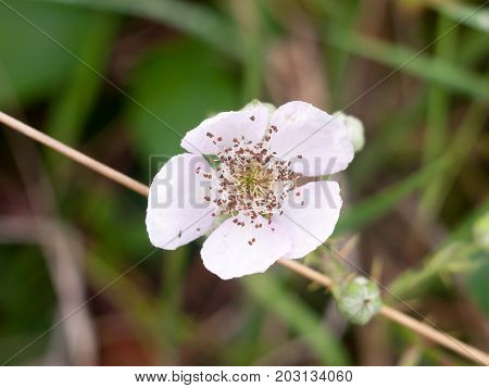 Beautiful White Bramble Flower Head Up Close Full Focus