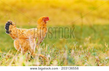Brown Chicken Walking On The Green Lawn Of A Farm