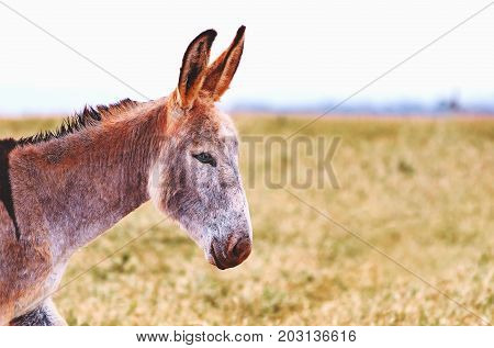 Donkey With Standing Ears Looking To The Right