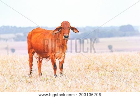 Brown Cow On A Dry Pasture Of A Farm