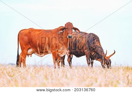 Two Brown Cows On The Pasture Of A Farm