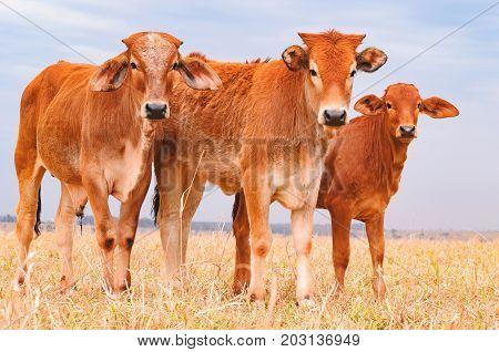 Three Brown Calves On A Pasture Of A Farm