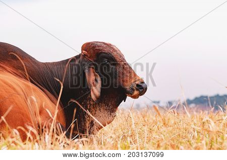 Big Bull Lying On The Dry Grass Of A Farm Pasture