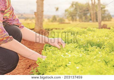 Hands Of A Woman Picking Lettuce On A Vegetable Garden Of A Farm