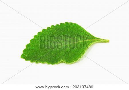 Boldo Leaf: Green Plant Called Boldo Da Terra