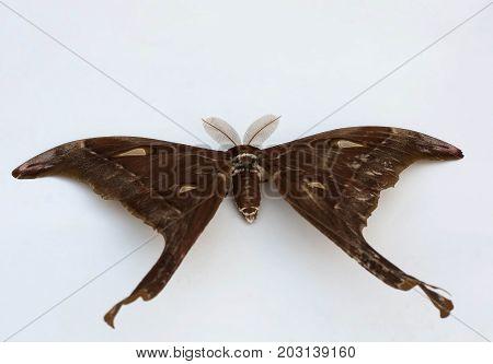 Largest moth in Australia the Hercules Moth Coscinocera hercules