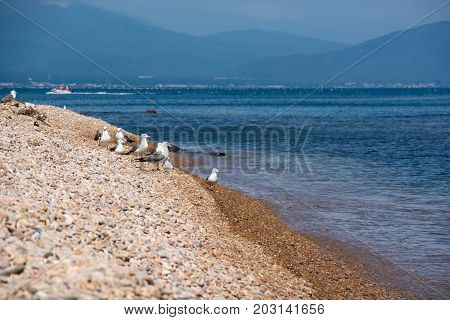 Flock of seagulls on a sea shore. Pebble beach in summer day.