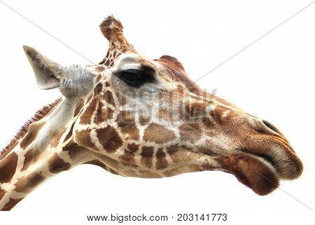 Giraffe tallest living terrestrial animals on white background