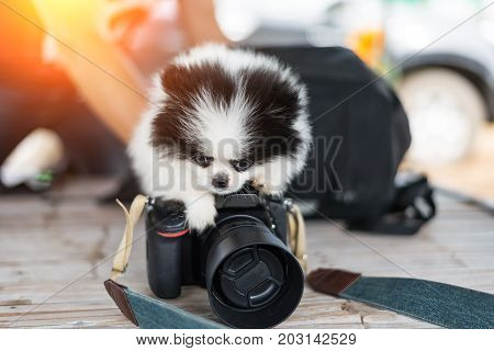 White dog lays with a camera on black background isolated close up.puppy dog running at morning soft and select focus