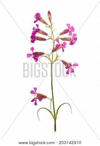 Pressed and dried flower on a stalk silene isolated on white background. For use in scrapbooking pressed floristry or herbarium.