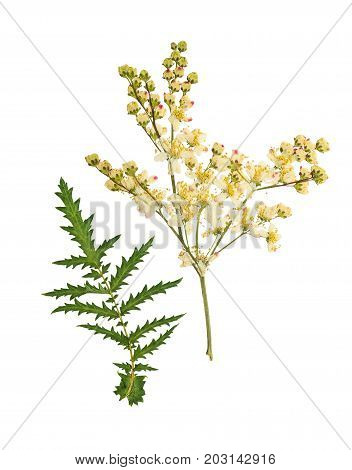 Pressed and dried orange flower spiraea isolated on white background. For use in scrapbooking floristry or herbarium.