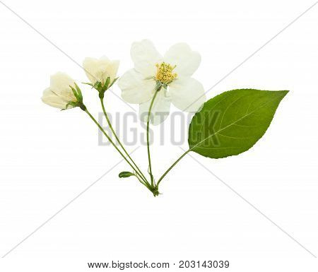 Pressed and dried flowers of apple tree isolated on white background. For use in scrapbooking pressed floristry or herbarium.