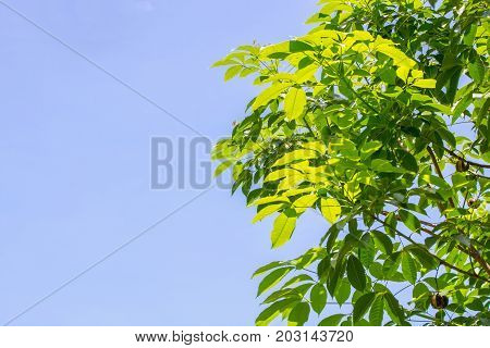 Green rubber tree with the sky as the background.