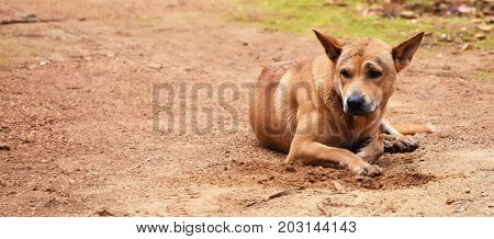 hungry stray dog wait someone give food on dirty ground in countryside for background