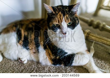 Angry Annoyed Calico Cat Sitting Under Chair On Carpet Looking Down At Home Room