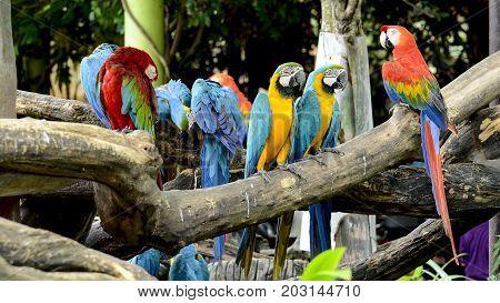 Scarlet Macaw (Ara macao) and Blue and Gold Macaw (Ara ararauna).