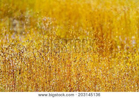 Eriocaulon smitinandii Mold.flower beautiful with blur background in the Mukdahan Nation Park Thailand.
