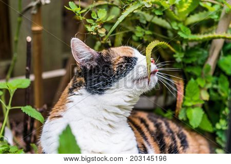 Closeup Of Calico Cat Lying In Bed Of Catnip Greens In Outdoor Garden Rubbing Against Aloe Thorns