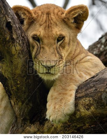 African lion resting in tree in natural park, Serengeti